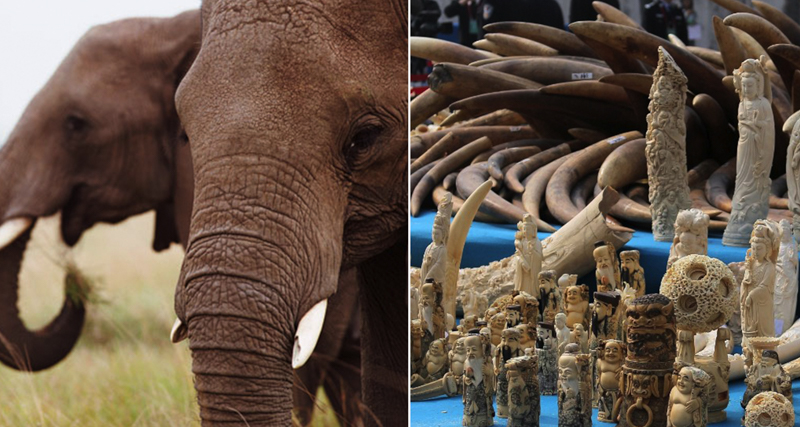 1_Hong Kong will shut down legal ivory trade