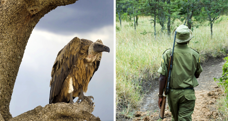 1_Poachers are poisoning endangered vultures