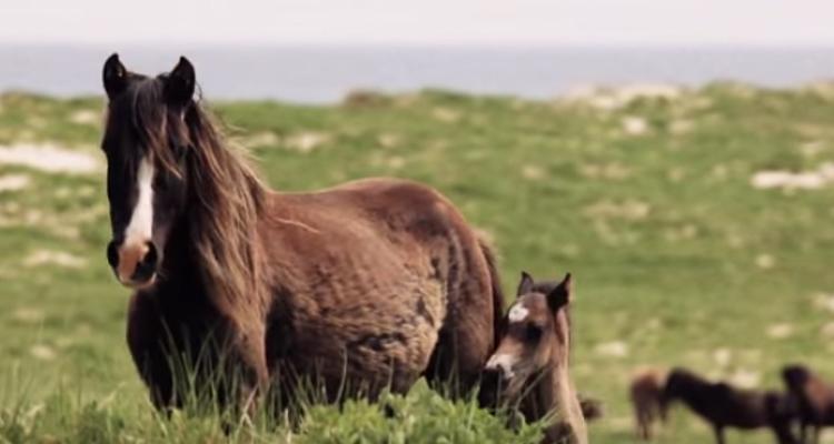 1_Canadian island Wild Free horses