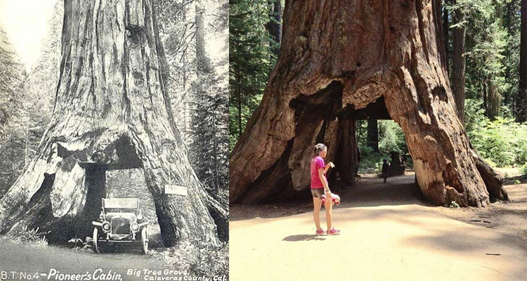 the-2000-year-old-tunnel-tree-was-taken-down-during-a-rainstorm