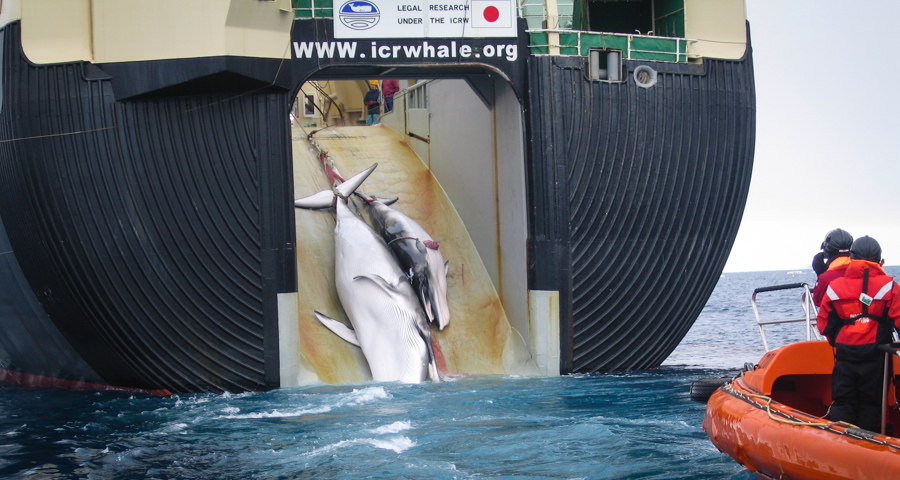 1_Japan's whale killing industry