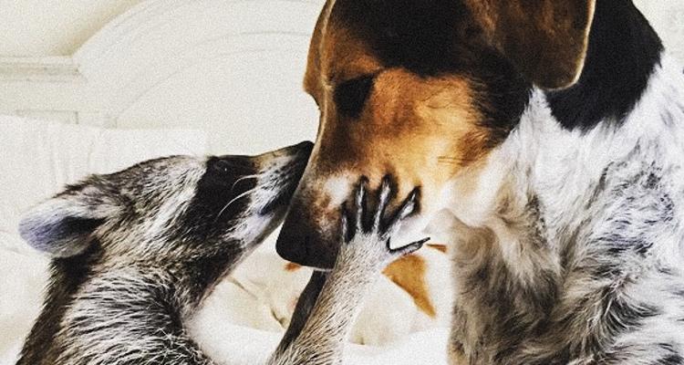 1_rescued baby raccoon