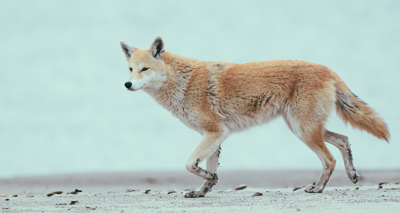 1_Coyotes and wolves are mating