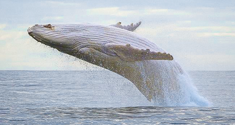 1_world's last all-white humpback whale