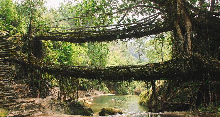 1_India's living root bridges