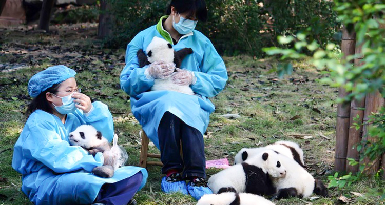 1_get paid $32,000 to cuddle with baby pandas all day