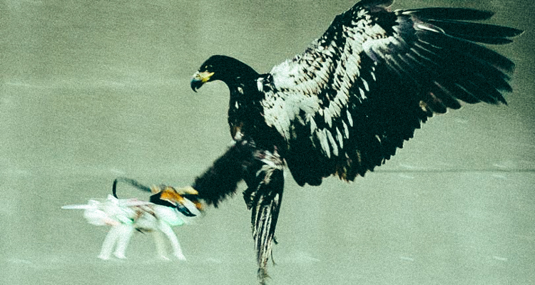 1Drone-Hunting Eagles