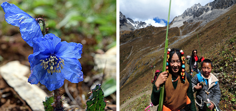 1_Himalayan blue poppy