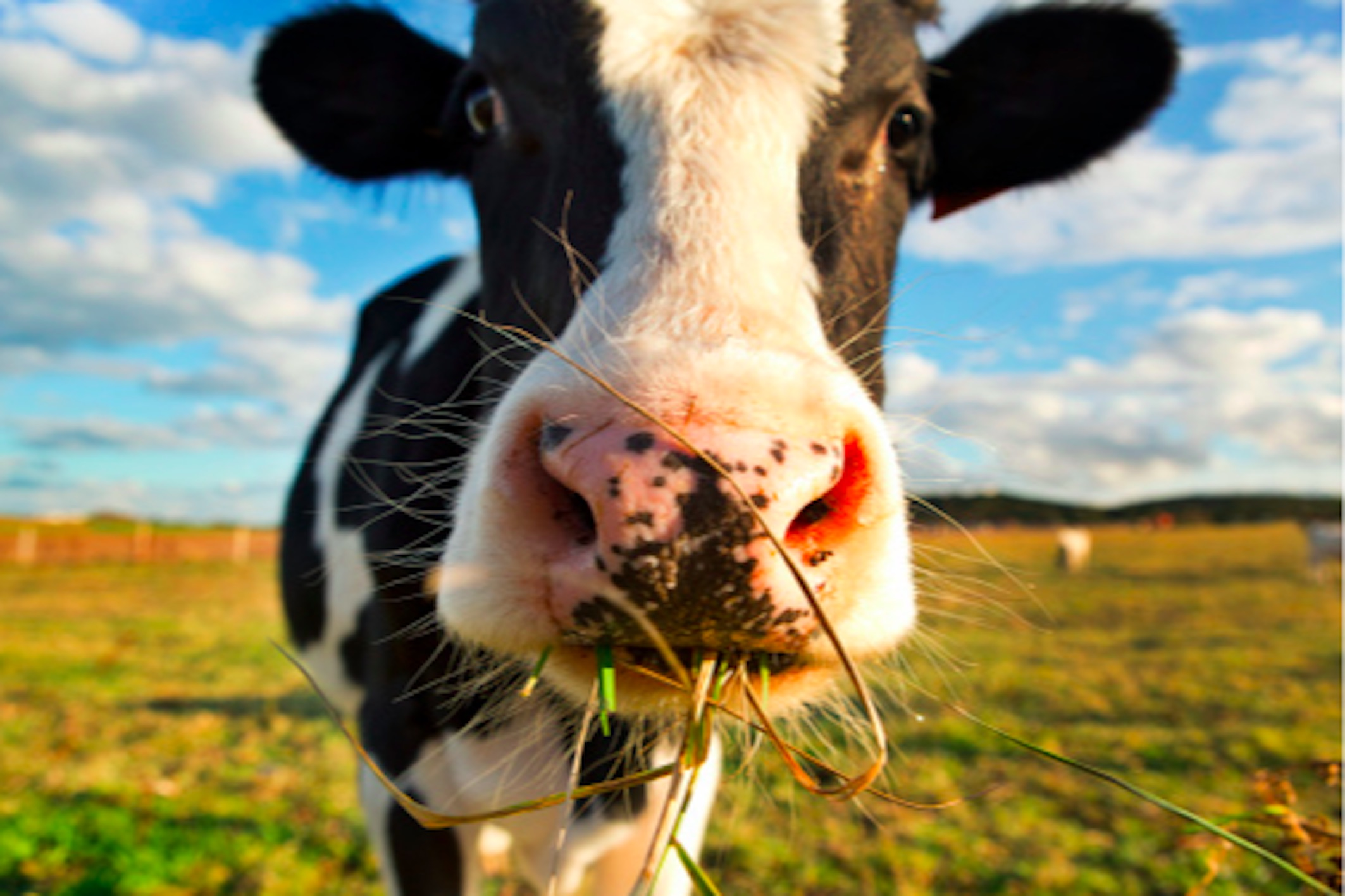 Seaweed eating cattle may be our best weapon to fight - Image vache drole ...