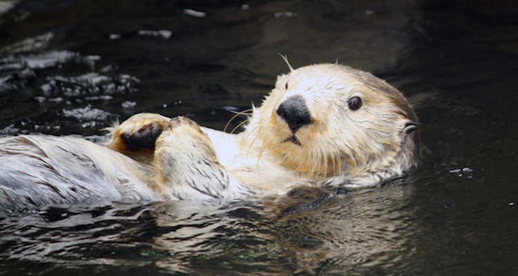 cute sea otter